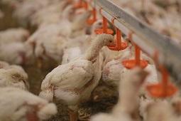 Липецкий район развивает птицеводство в регионе