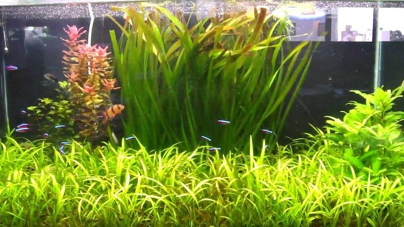 Aquario 250L plantado com botias e neons