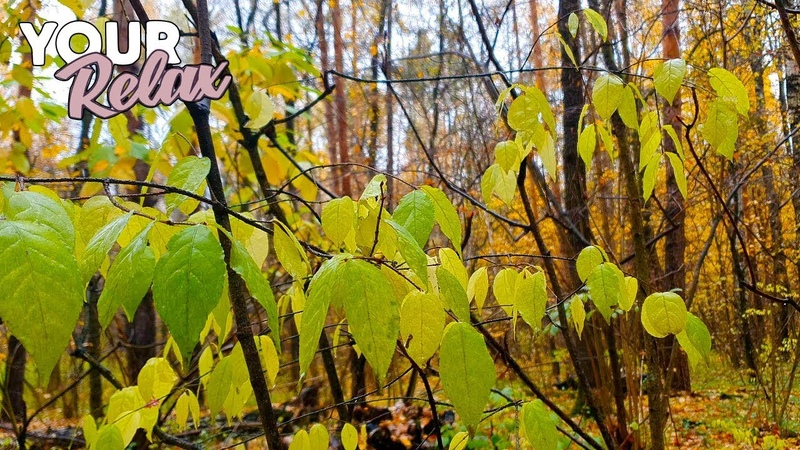 Шум Леса После Дождя Для Отдыха Сна и Релаксации Видео ULTRA HD 4K