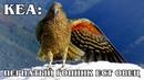 КЕА Пернатый Эйнштейн и «клоун гор» с токсичным характером ест овец Интересные факты про попугаев