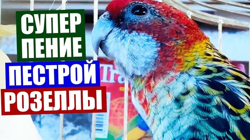Розелла попугай Очень красивое пение пестрой розеллы Как поет попугай розелла