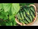 Выращивание огурцов и томатов на балконе. Самоизоляция 2020.