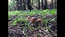 Белые грибы еловые Шикарный еловый лес животные прекрасные грибы КРАСОТА Фильм 2