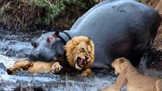 """Бегемот догнал льва. Самые эпичные битвы диких животных """"за 5 минут"""""""