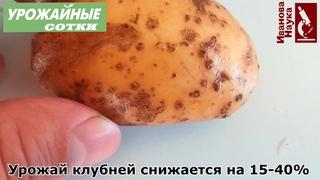 Только ТАК можно оздоровить клубни картофеля! Все о выборе семян и их избавлении от болезней!