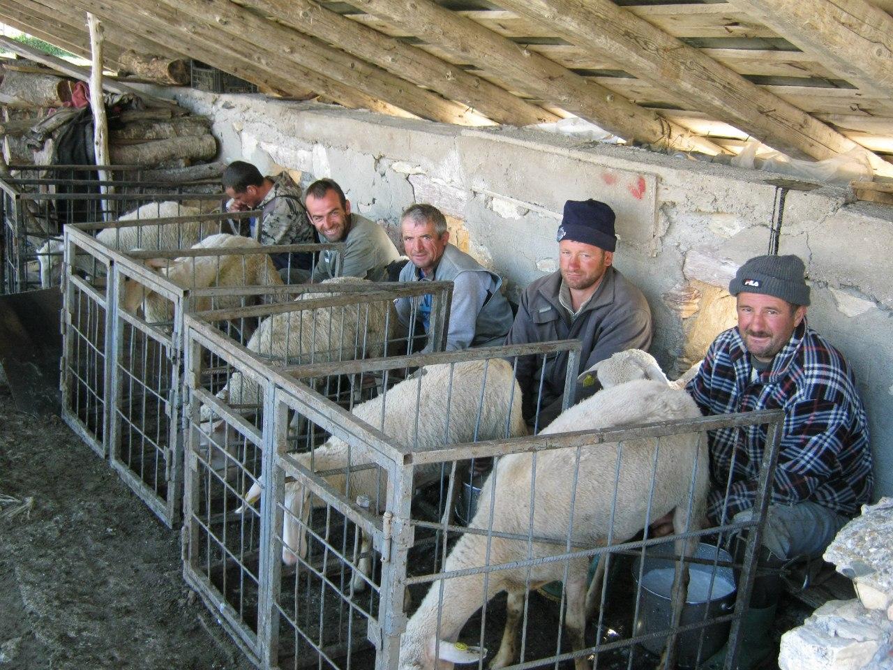 Уникальная картина - пятеро мужиков доят овец