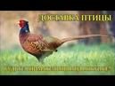 Фазаны.Доставка птицы.Секреты птицеводов.