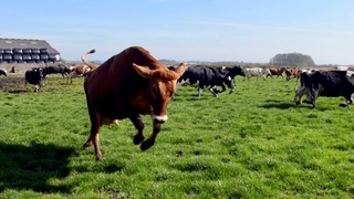 100 COWS OUT FOR THE FIRST TIME IN 6 MONTHS! THEY ARE SO HAPPY!