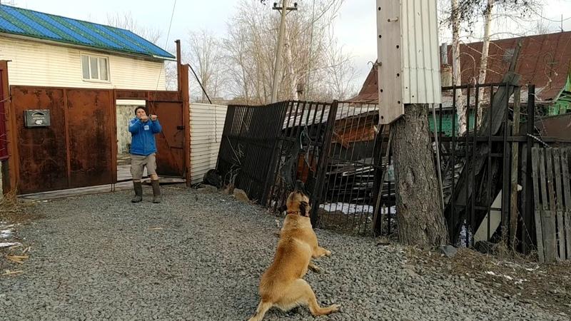 Dog's Belgian Malinois Бельгийская овчарка малинуа Герочка Тренажёр во время самоизоляции