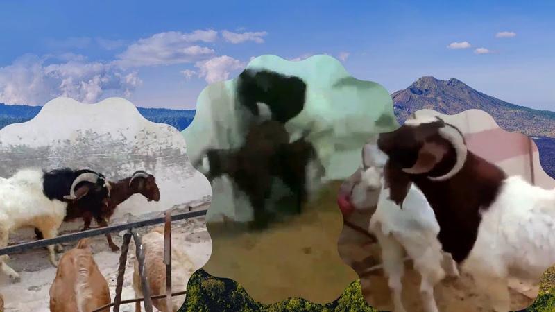 تعريفات وتوضيحات عن مشروع ماعزالبورBoer Goats