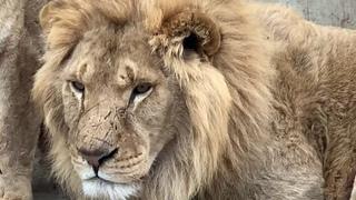 Олег Зубков: почему и куда уехал лев Витя?