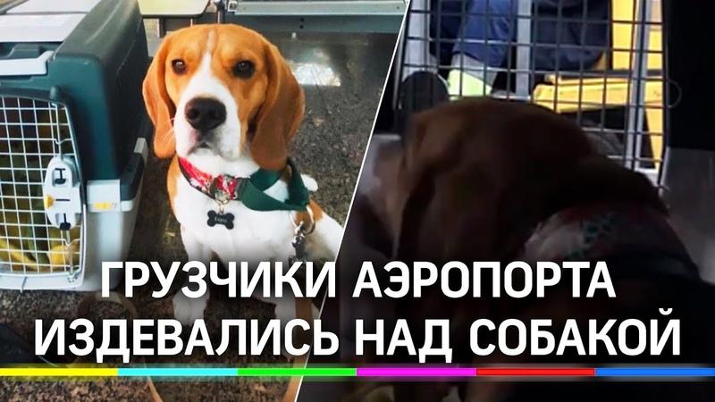 Издевались над биглем в аэропорту Сочи камера сняла грузчиков которые глумятся над собакой