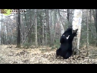 """Медведь-почесун на """"Земле леопарда"""" (Full HQ)"""