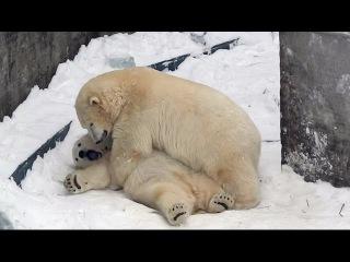 Медведица учит медвежонка уму-разуму. Bear mom teaches baby bear mind-to reason