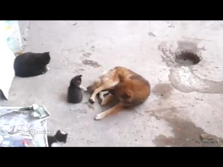 Кошка знакомит котят со своим другом