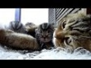 Purr fect video Mom Cat and Baby Kittens