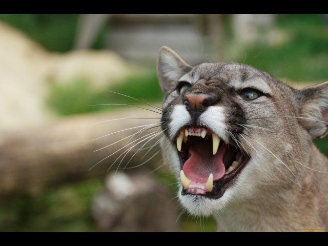 Самые опасные животные Северная Америка Документальные фильмы National Geographic HD