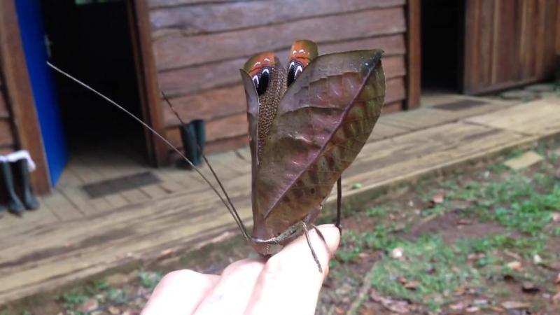 ...) Пучеглазая Pterochroza (Pterochroza ocellata)