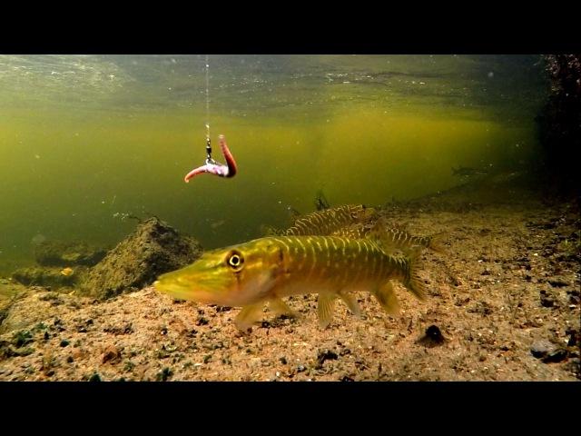 Playing fishing wt baby pike baby perch Игра в рыбалку со щурятами и окушками