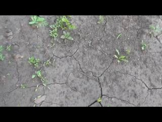 Всходы морковки, свеклы, корневой петрушки на конец мая