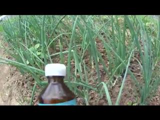 Супер средство для подкормки и защиты лука от луковой мухи