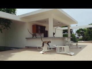 обезьяний погром в Anilana Hotel