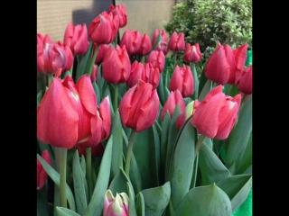 Выставка тюльпанов- МЕЧТЫ О ВЕСНЕ