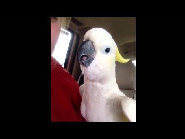Allahuakbar parrot