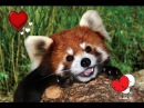 Red panda freaks out encountering a rock 😂😂❤👌