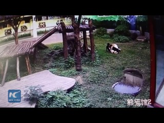 Man jumps into panda den, gets attacked by giant panda