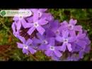 Цветок вербена выращивание из семян уход и посадка вербены