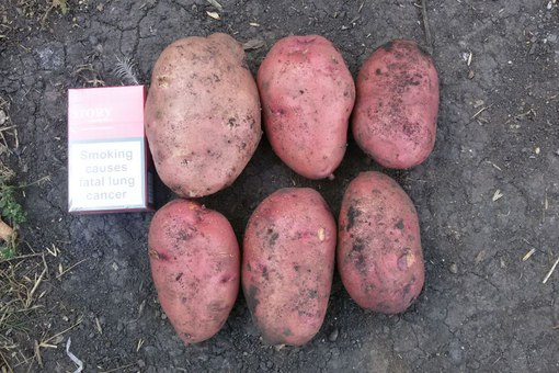 Картофель рамона подробное описание фото