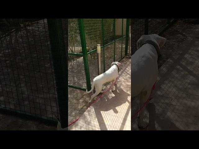 Dogo Argentino VS Pittbull mix FIGHT