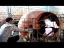 How to breeding a Pig Sperm Collection of boar in my Cambodia GSX