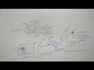 Строение Нефрона и Юкстагломерулярный аппарат почки