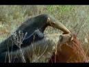 BBC Жизнь млекопитающих The Life of Mammals 2002 2003 02 Насекомоядные