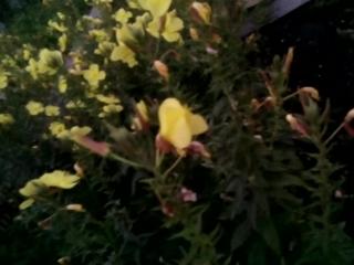 Путана. Так называется этот цветок - раскрывает свои бутоны только с наступлением сумерек.