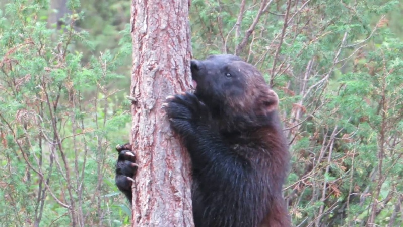 Veelvraat (nacht) - Wolverine (at night) - Glouton - Gulo gulo - Ahma Finland