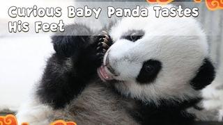 Curious Baby Panda Tastes His Feet   iPanda