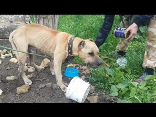 Хозяин привязал бойцовского пса к дереву и бросил умирать… Ни еды, ни воды, ни надежды!