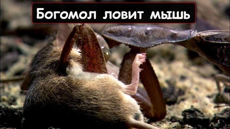 ВЕРСУС! На что способен Богомол! Богомол против мыши ящерицы и даже змеи!