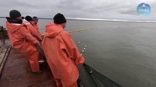 Итоги первого месяца лососёвой путины-2019 в Усть-Камчатске