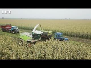 Кадры с дрона. кукурузу, на которую сел самолёт, убирают с поля