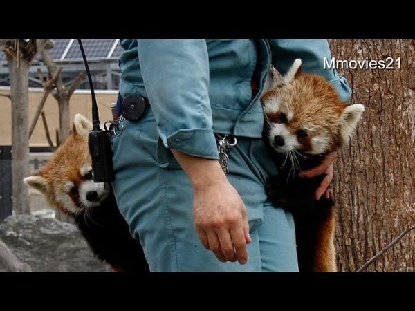 ブドウはどこ?ポケットに顔を突っ込むココ~Red Panda is looking for grapes