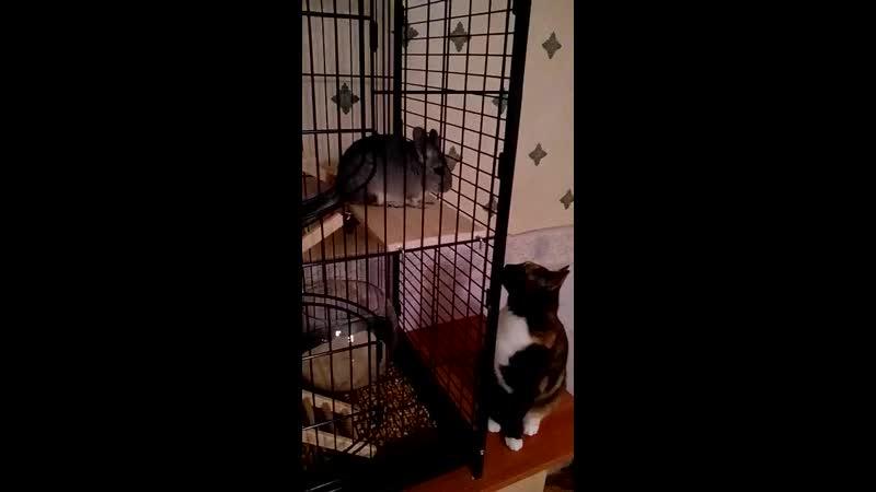 шинша и кошка