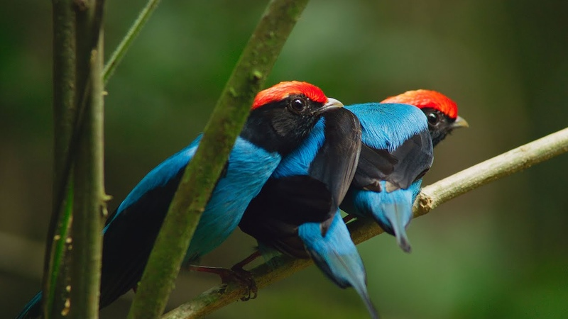 Manakin birds have all best dance moves   Seven Worlds, One Planet   BBC Earth