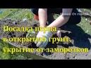 Посадка перца в открытый грунт Выращивание перцев Укрытие от заморозков