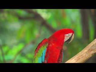 4K VIDEO ULTRAHD MACAW PARROTS BIRDS🦜🦜BEAUTIFUL NATURE - 4K UHD TV COLORFUL SC