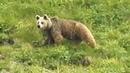 Медведица с двумя медвежатами на склоне у озера