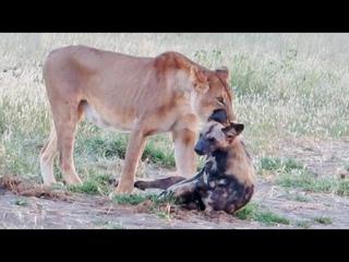 Wild Dog Plays Dead To Escape Lion